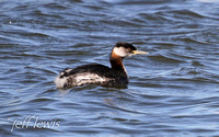 Red-necked Grebe-239