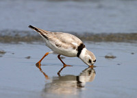 Piping Plover 249