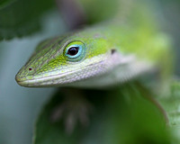 Anole close-up