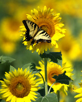 Eastern Tiger on Sunflower