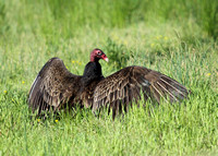 Turkey Vulture in the grass