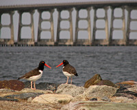 Oystercatchers in front of the Bonner Bridge