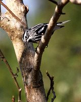 Black-and-white Warbler 002
