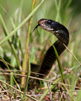 Black Racer in the Grass