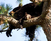 Black Bear sow with cub in tree 375
