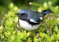 Black-throated Blue Warbler 011