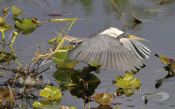 Tricolored Heron 431 (1 of 3)