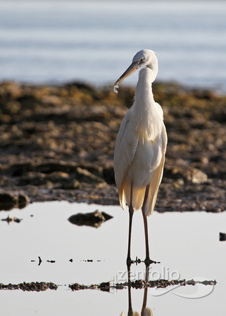 Great White Heron 034