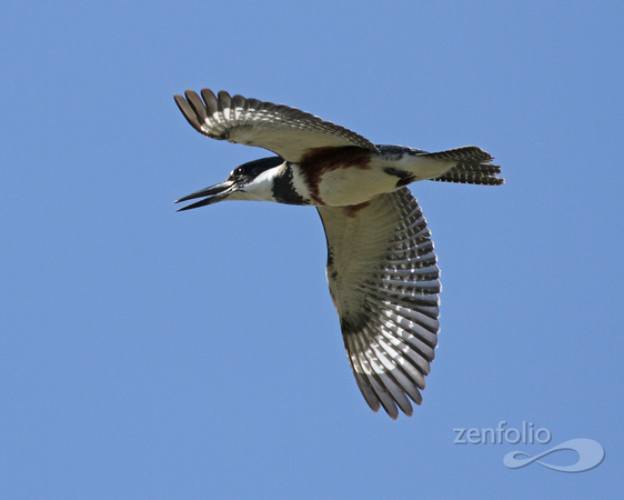 Belted Kingfisher 150