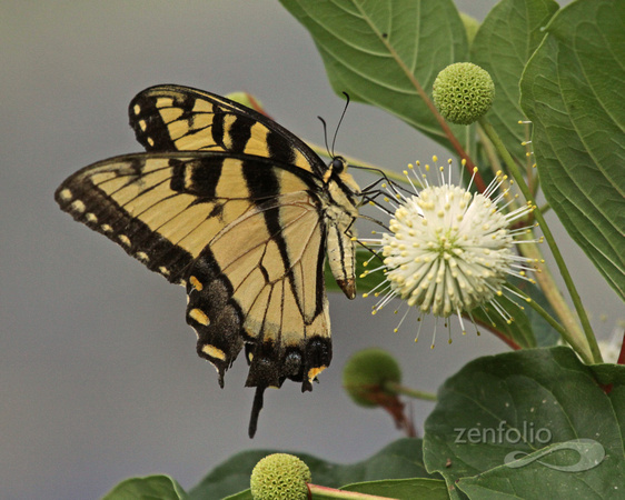 Eastern Tiger Swallowtail on Buttonbush