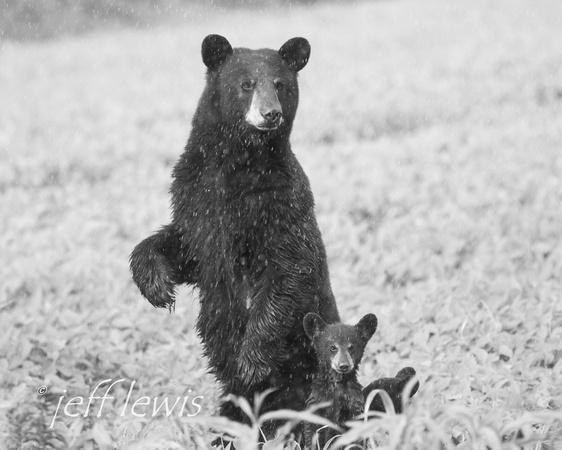 Black Bear with Cubs in the Rain