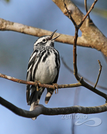 Black-and-white Warbler 044