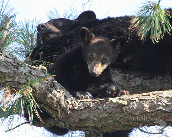 Bear Cub with Mother up a Tree 472
