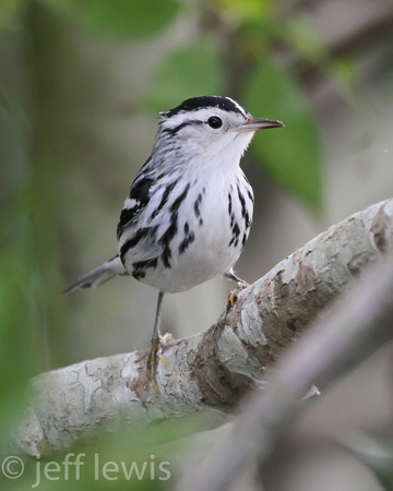 Black-and-white Warbler 149