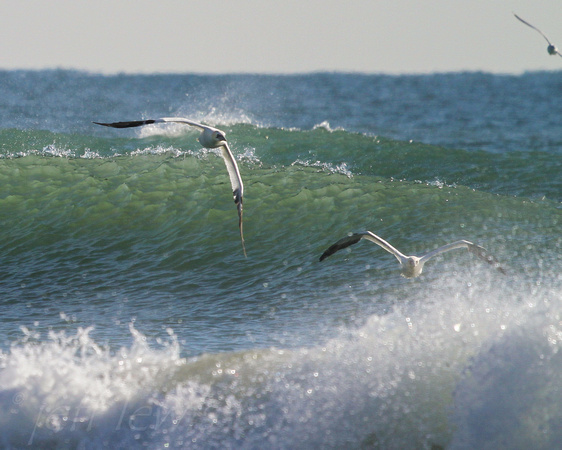 Northern Gannets Surfing 214-1-2