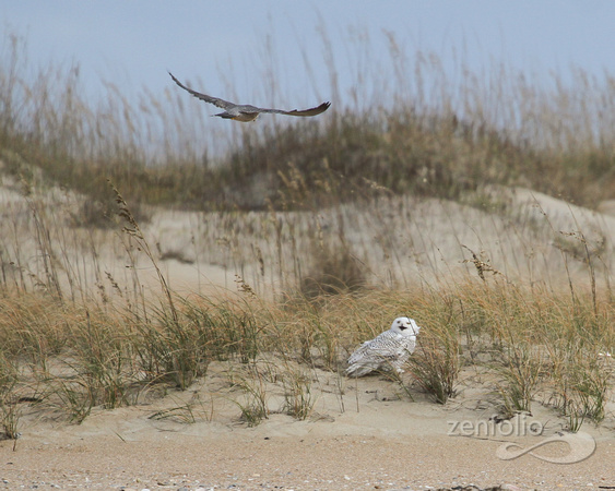 Snowy Owl and Peregrine