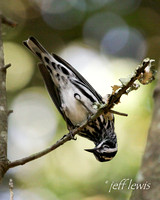 Black-and-white Warbler 167