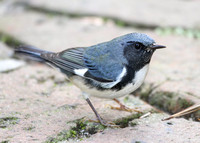 Black-throated Blue Warbler 004