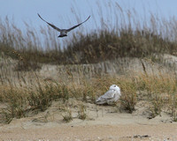 Snowy Owl and Peregrine Falcon