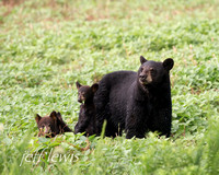 Black Bear Sow with Cubs